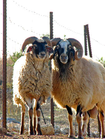 snot: Two Rams