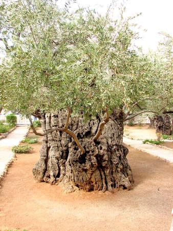 israel farming: 2,000 year old Olive Tree in Jerusalem, Israel