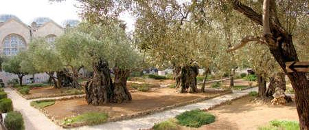 israel farming: Garden of Gethsemane on the Mount of Olives