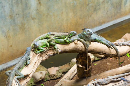 Iguanas on a Log Stock Photo