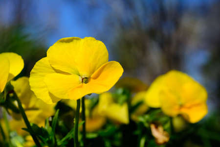 focus on foreground: Single Yellow Pansy Selective Focus Foreground Stock Photo
