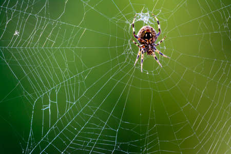 orb weaver: Western Spotted Orb Weaver - (Neoscona oaxacensis) Spider in center of web Stock Photo