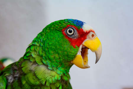 White-fronted Amazon, Amazona albifrons, Spectacled Amazon or White-fronted Parrot, the smallest Amazon Parrot, native to Central America