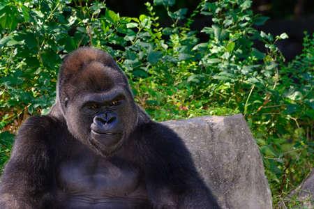 Male Silverback Western Lowland gorilla smile