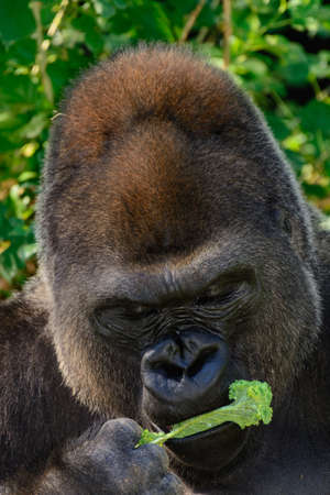 Male Silverback Western Lowland gorilla eating lettuce Stock Photo