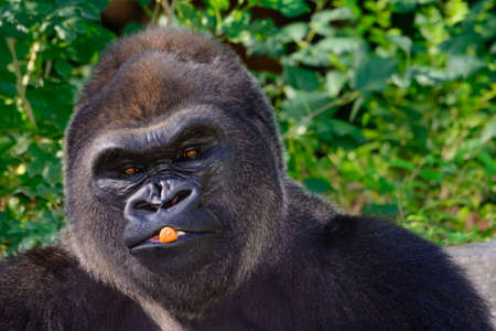 Male Silverback Western Lowland gorilla eating a carrot and playing with his food Stock Photo
