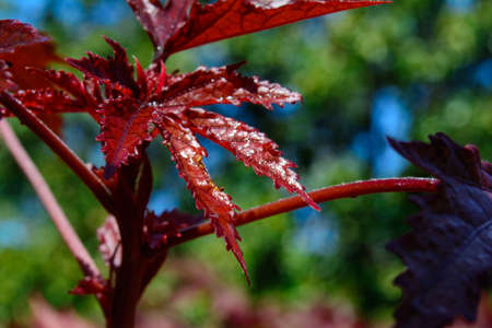 Selective Focus on the leaf of a Japanese Maple - Acer palmatum -