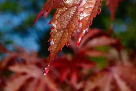 Selective Focus on the leaf of a Japanese Maple - Acer palmatum - with a raindrop on the tip of the leaf.