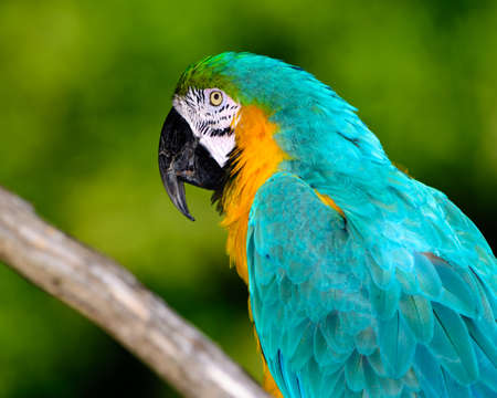ara: blue-and-yellow macaw (Ara ararauna)