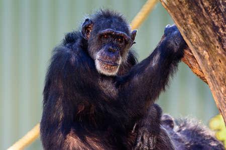 chimpances: Elder Chimpanzee (Pan troglodytes) sentado en una rama