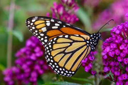 plexippus: monarch (Danaus plexippus) sipping nectar from tiny lavender flowers