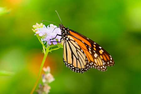 Monarch Autumn - Monarch gathering Nectar  from  lavendar flowers