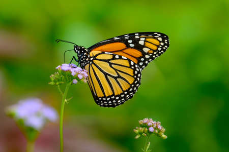 Monarch Autumn - Monarch gathering Nectar  from small lavendar flowers