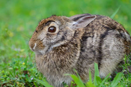 Swamp Rabbit or Swamp Hare (Sylvilagus aquaticus) frightened and observant.