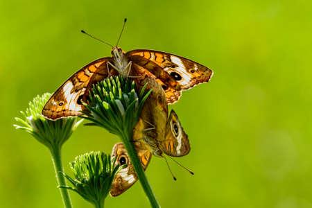 Buckeye Butterfly (Junonia coenia) Mating. Sunlight shining through wings making them almost glow