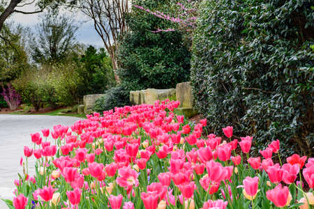 Pink Tulips in garden by stone pathway with redbud trees and shrubs Stock Photo