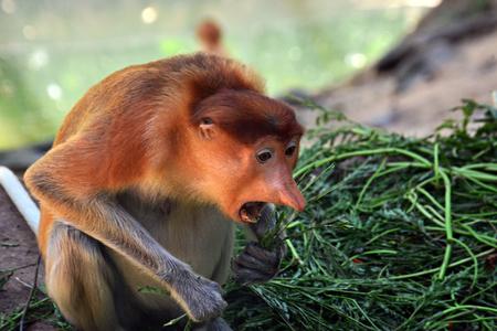 Female proboscis monkey in Sabah Borneo, Malaysia