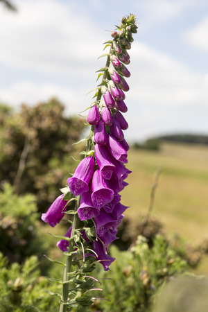 flowerhead: Foxglove flowerhead Stock Photo