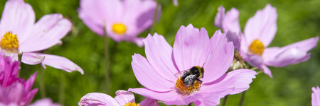 header image: A yellow and black striped bumble bee collecting nector from a bright pink flower.  Panorama copped header image with green background.