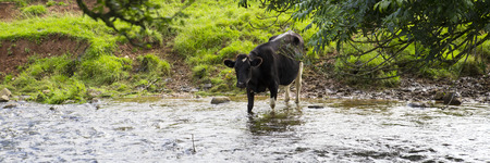 water panoramic: A Black and white dairy cow leaves the herd in the field and walks through an adjacent stream in order to drink fresh water. Panoramic crop.