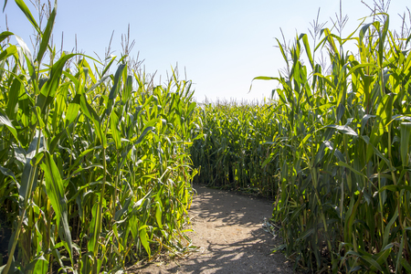 corn rows: Maize Maze.  Footpath through a maze made out of a field of maize corn