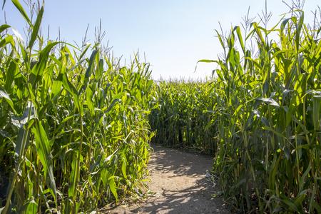 planta de maiz: Maize Maze. Sendero a través de un laberinto hecho de un campo de maíz de maíz