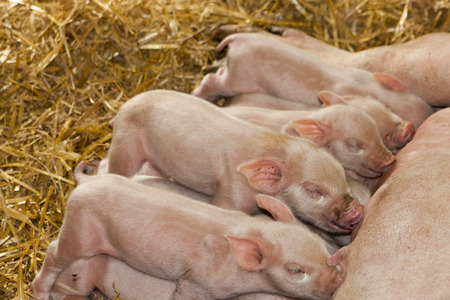 piglets: piglets feeding from mother Stock Photo