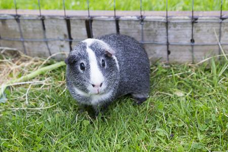 agouti: Guinea Pig