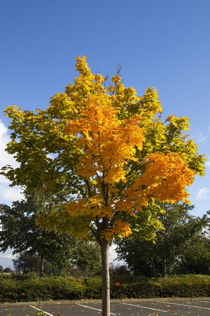 Autumn Tree with orange, yellow and golden leaves against blue sky background