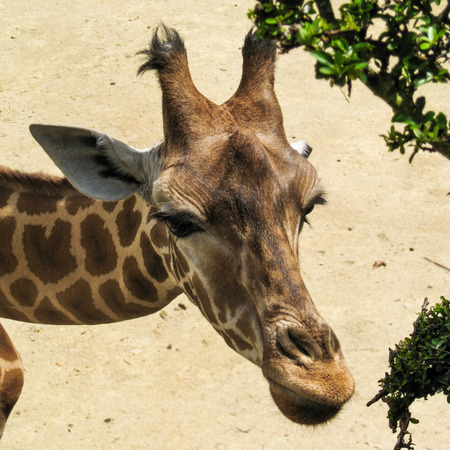 face to face: Giraffes head and face Stock Photo