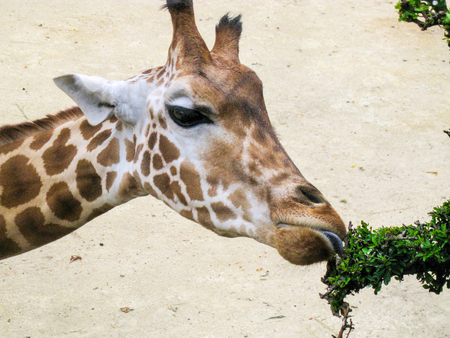 Close up of giraffe eating leaves 版權商用圖片
