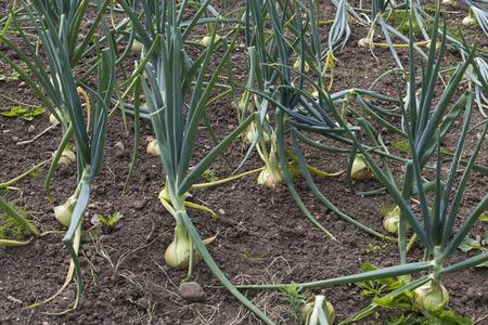 Onions Growing in Garden field