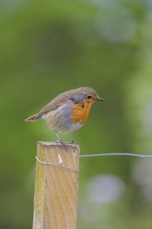 Close up of Robin Bird