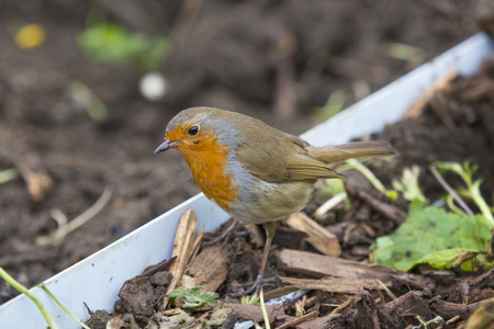 Robin red breast bird on the ground searching for worms