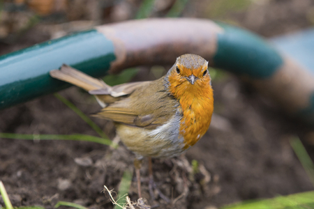 A European Robin on the ground looking for worms