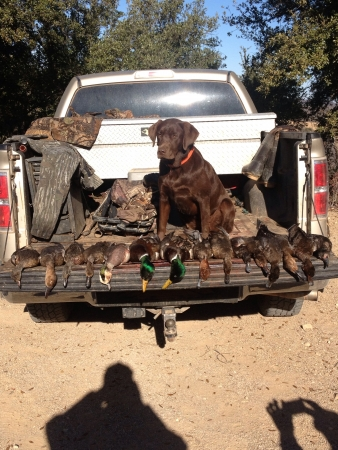 otganimalpets01: Duck Hunting Expert- Maple the Labrador