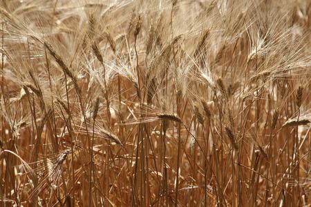 cropland: wheat Stock Photo