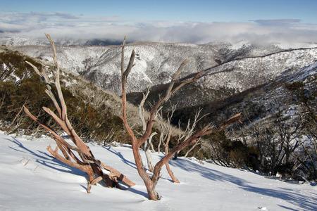 sun lit: Sun lit dead tree on a snow covered mountainside in Australia Stock Photo