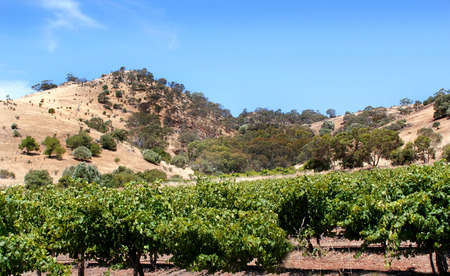 barossa: Hot sumer days on the hills in the Barossa Valley South Australia Stock Photo