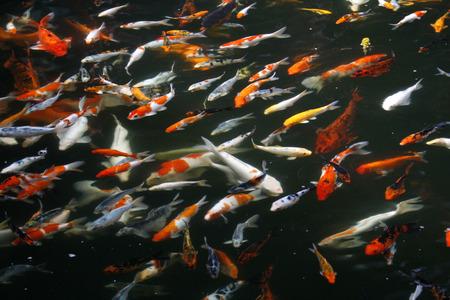 shoal: A shoal of Koi carp in a pond Stock Photo