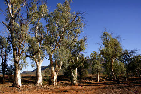 flinders: Gum trees in the desert landscape of the Flinders Ranges in South Australia