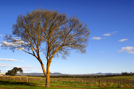 barossa: Late afternoon sunshine warms the vines across the Barossa Valley South Australia