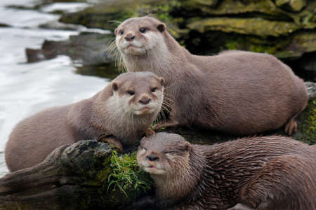 clawed: Asian short clawed otter Aonyx cinerea Stock Photo