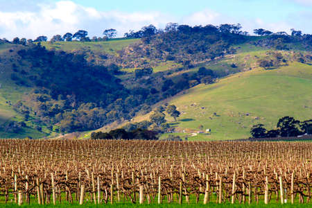 barossa: The vines are stripped bare awaiting the spring in the Barossa Valley South Australia