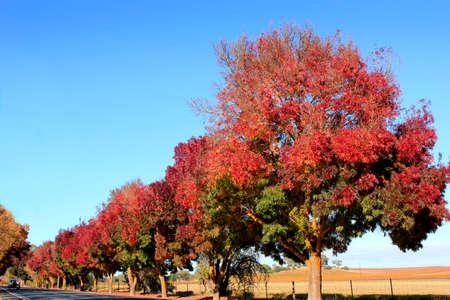 barossa: Autumn sun on the trees in the Barossa Valley South Australia