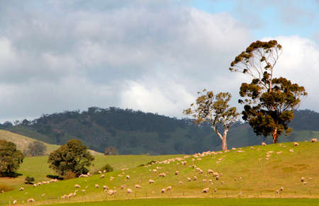 scrub grass: Sheep grazing across open country in South Australia
