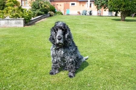 Portrait of eleven-year-old English cocker spaniel dog 写真素材