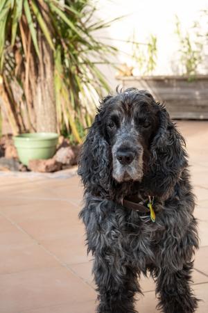 Portrait of eleven year old English cocker spaniel dog 写真素材
