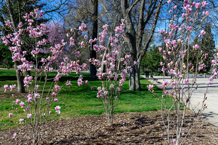 cherry blossoms in the Retiro park in Madrid