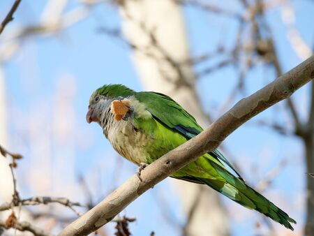 Argentine parrot invasive species that has multiplied by displacing native birds in Madrid